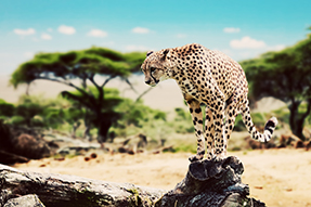 Cheetah standing on rock.