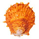 Orange spiny oyster shell.