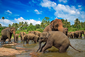 Elephants bathing in Sri Lanka.