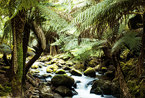 Tasmanian jungle.