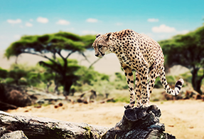 Cheetah on a rock.