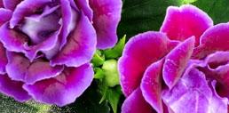 Amethyst flowers.