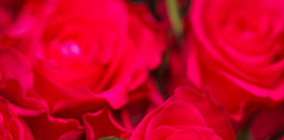 Red roses in ruby color.